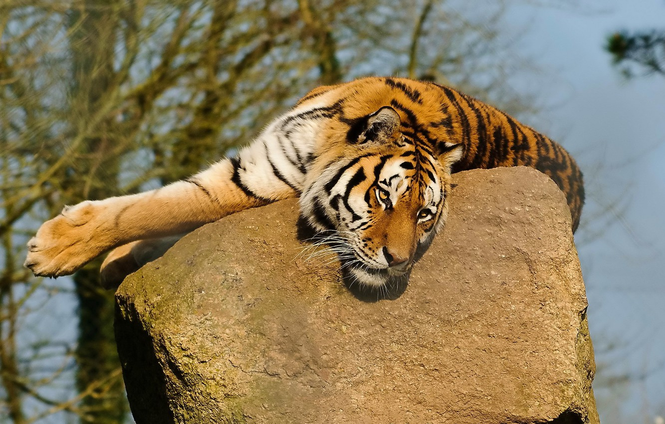 Photo wallpaper mustache, face, tiger, paws, lies, looks, on the stone