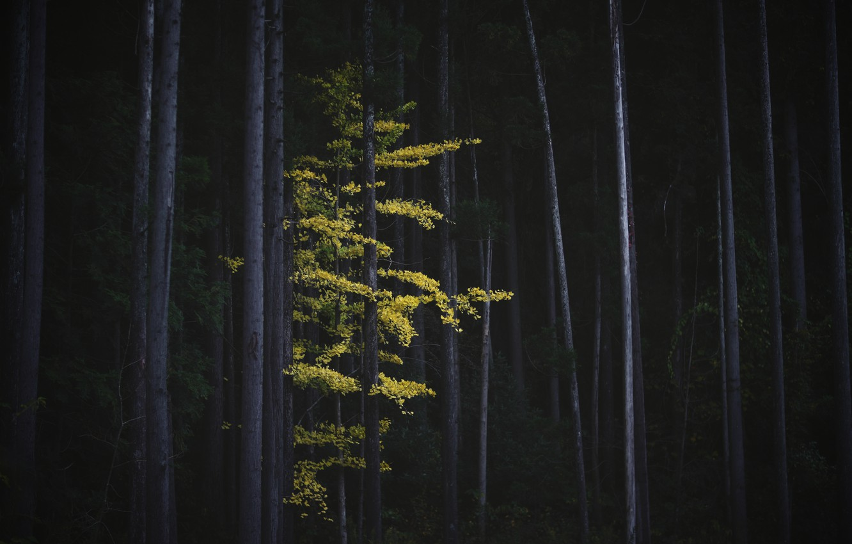 Photo wallpaper autumn, forest, trees, nature, tree, foliage, Japan, Ginkgo
