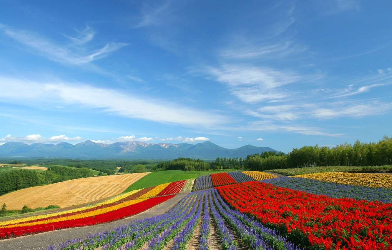Photo wallpaper field, flowers, tulips