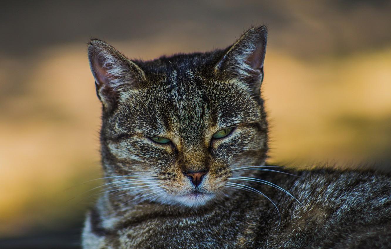 Photo wallpaper eyes, mustache, look, Koshak, Tomcat
