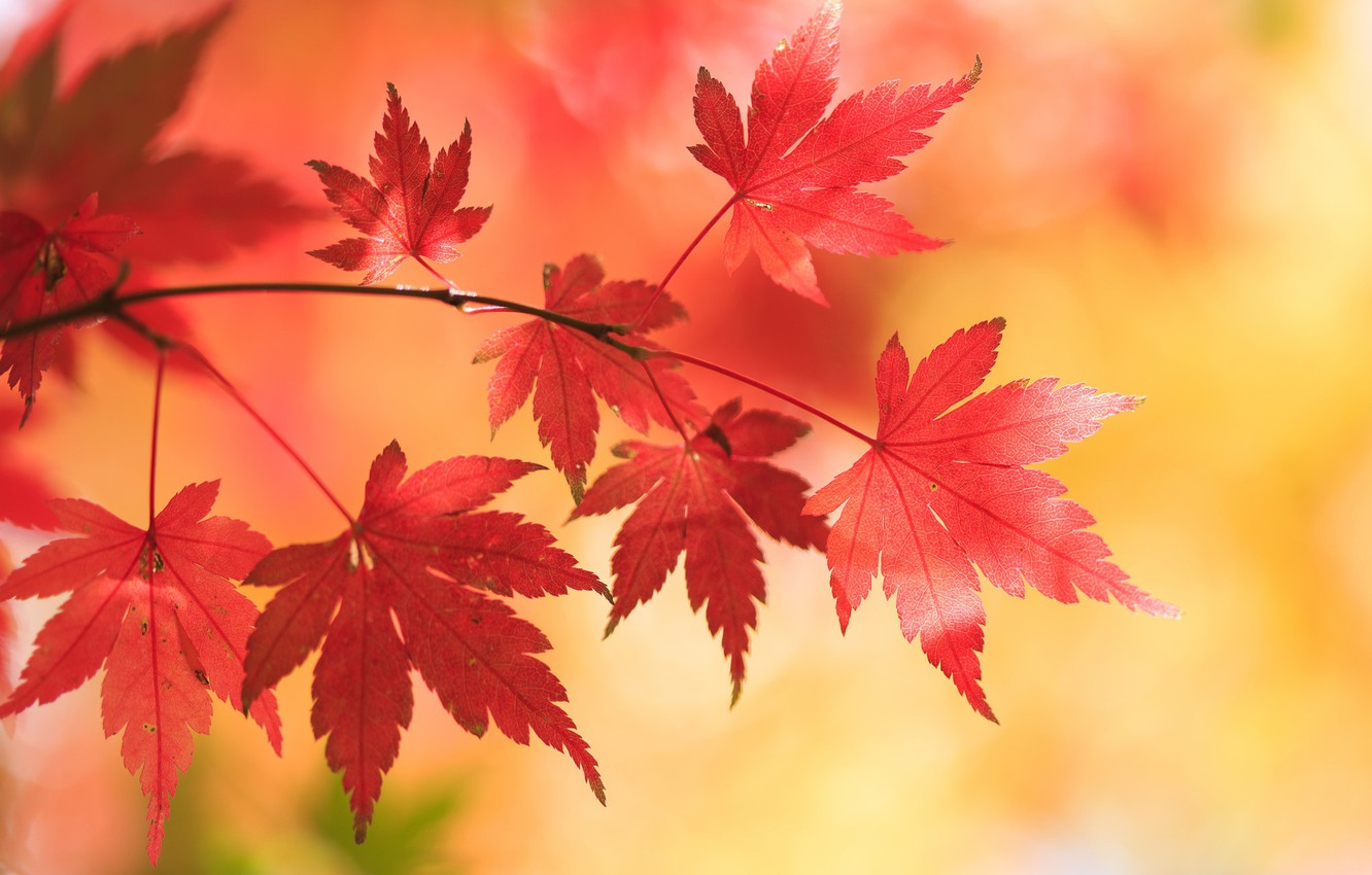 Photo wallpaper autumn, leaves, background, branch, maple, Japanese maple