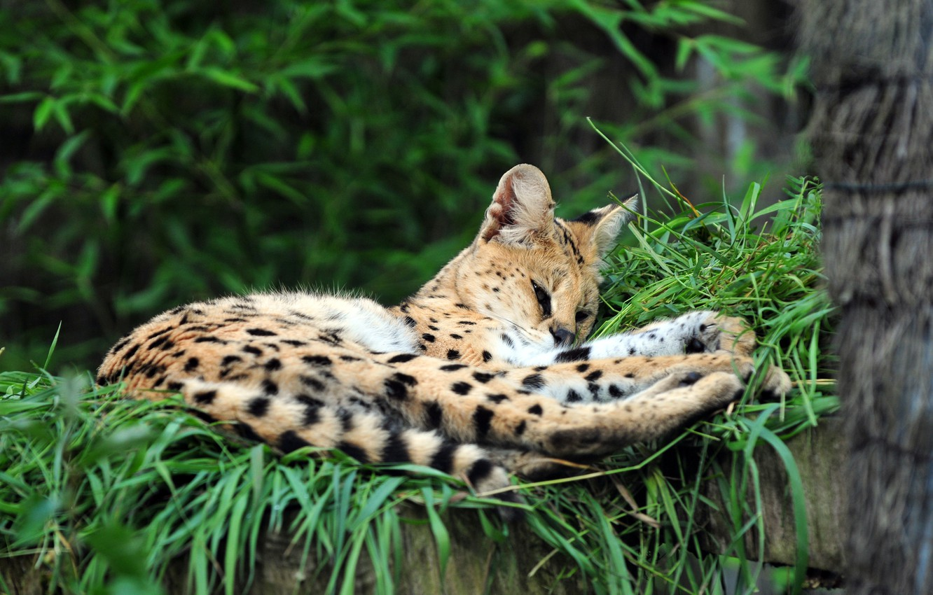 Photo wallpaper cat, grass, stay, Serval