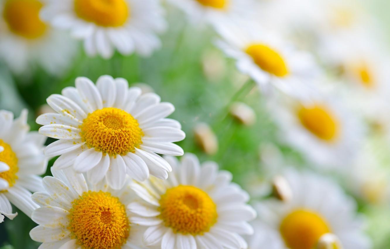 Photo wallpaper pollen, chamomile, petals, bokeh