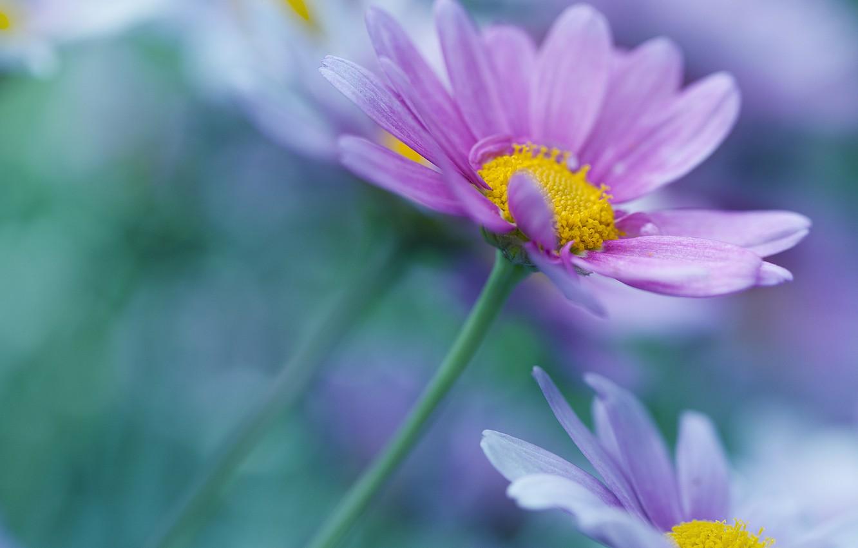 Photo wallpaper flower, lilac, petals, blur, stem