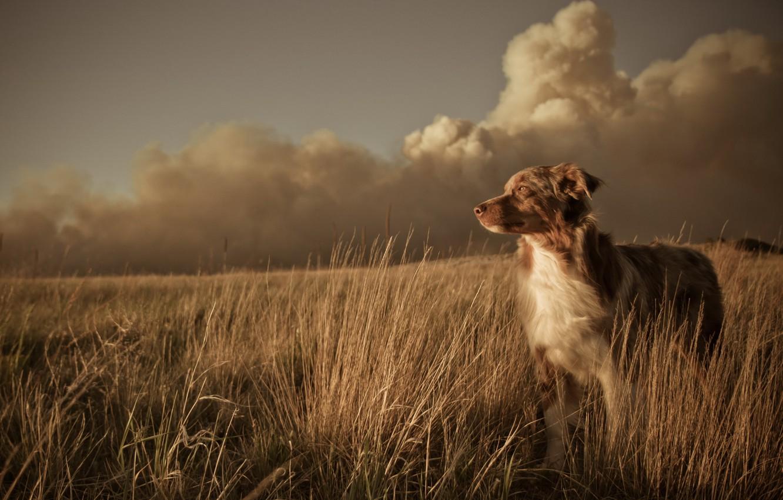 Photo wallpaper field, landscape, sunset, each, dog