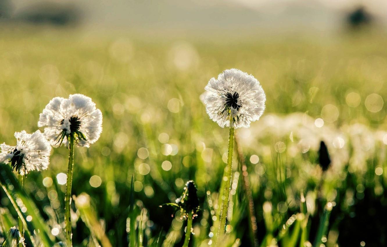 Photo wallpaper greens, grass, the sun, macro, nature, Rosa, background, dandelion, widescreen, Wallpaper, blur, meadow, day, wallpaper, …