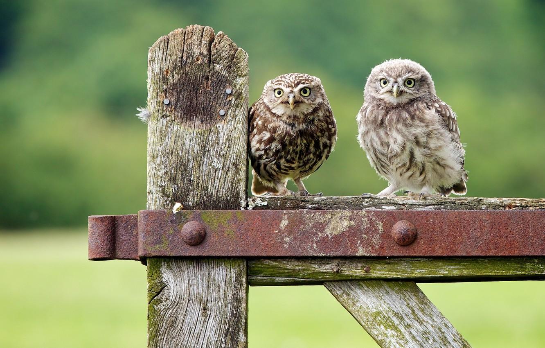 Photo wallpaper birds, owls, chick, owls