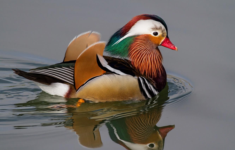 Photo wallpaper water, circles, reflection, bird, duck, tangerine