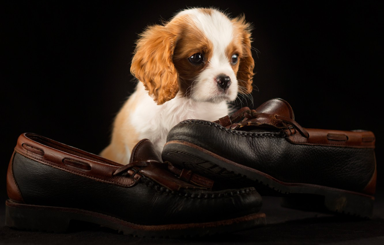 Photo wallpaper the dark background, shoes, dog, pair, shoes, puppy, face, sitting, photoshoot, friendly, the cavalier king …