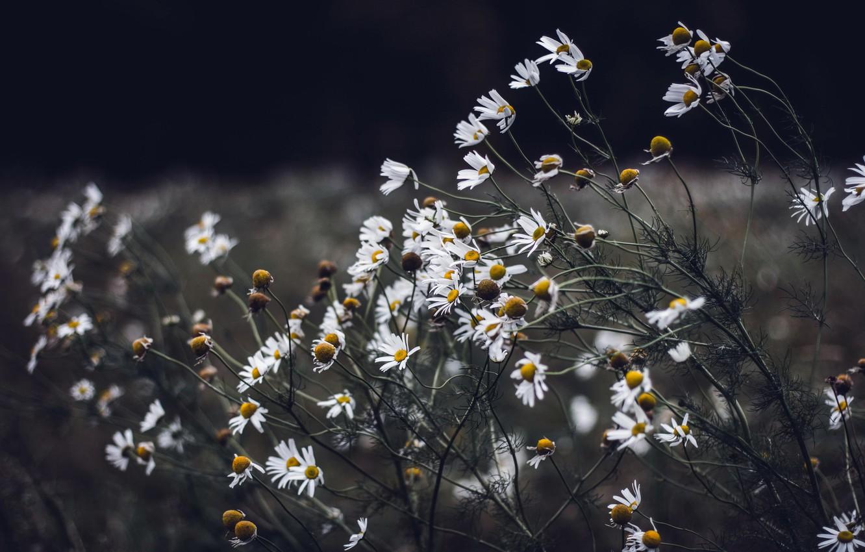 Photo wallpaper autumn, flowers, chamomile