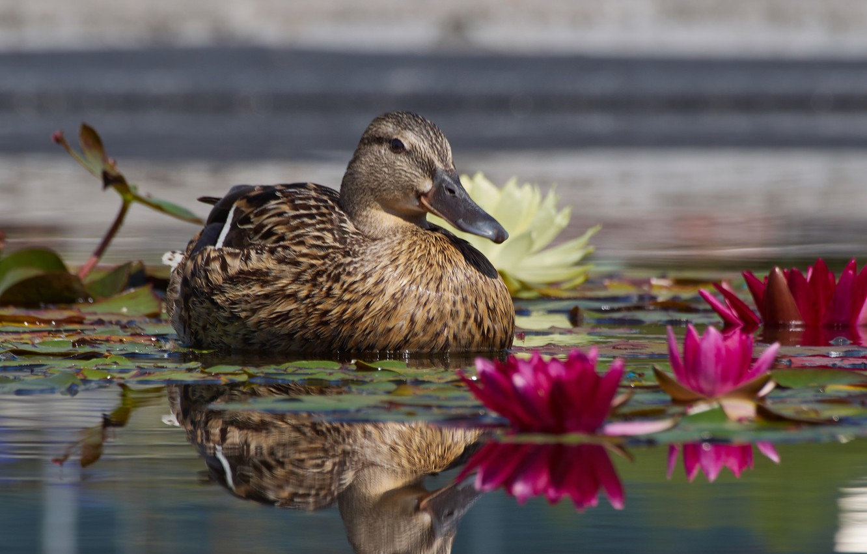 Photo wallpaper leaves, lake, duck, water lilies