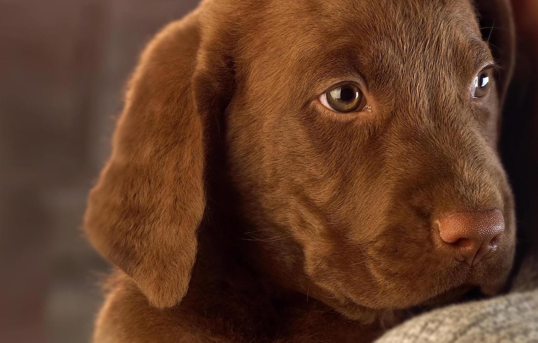 Photo wallpaper dog, puppy, Labrador, chocolate