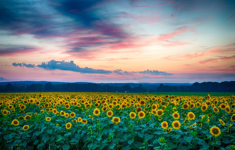 Photo wallpaper field, summer, clouds, landscape, sunset, nature, the evening, Sunflowers