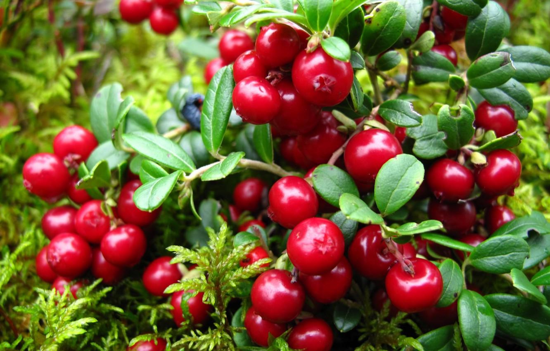 Photo wallpaper leaves, berries, twigs, Bush, cranberry
