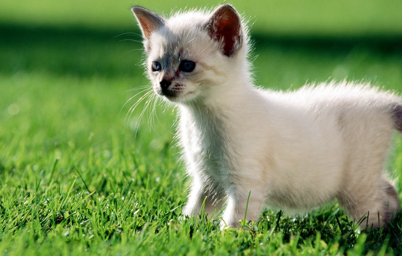 Photo wallpaper white, grass, green, Kitty