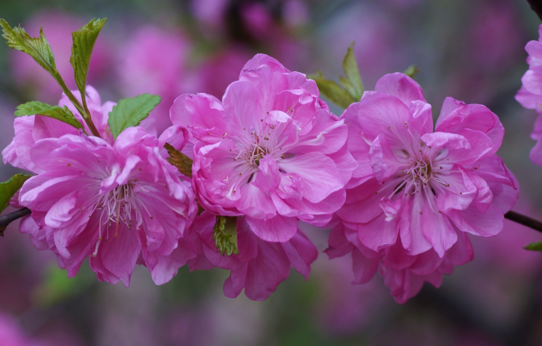 Photo wallpaper flowers, cherry, branch, petals, Sakura, pink, buds