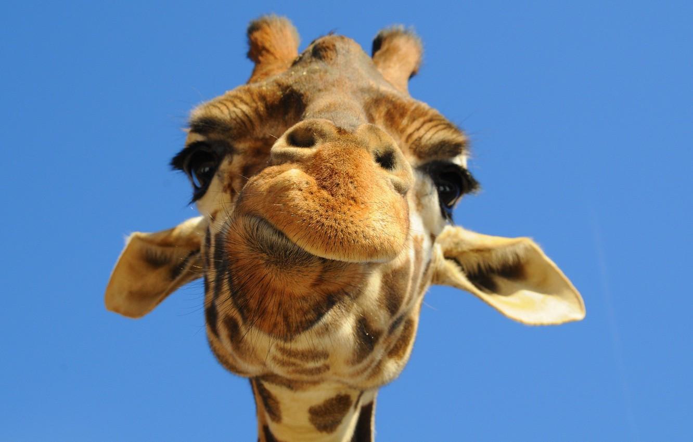 Photo wallpaper the sky, face, giraffe