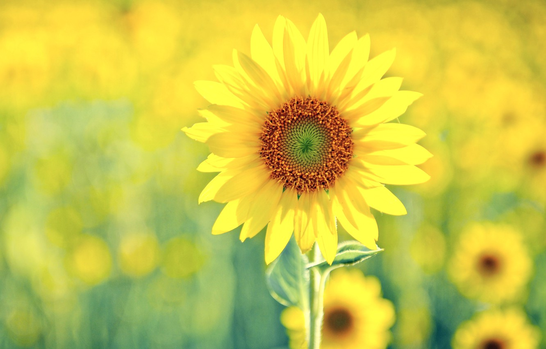 Photo wallpaper yellow, green, sunflower, Solney