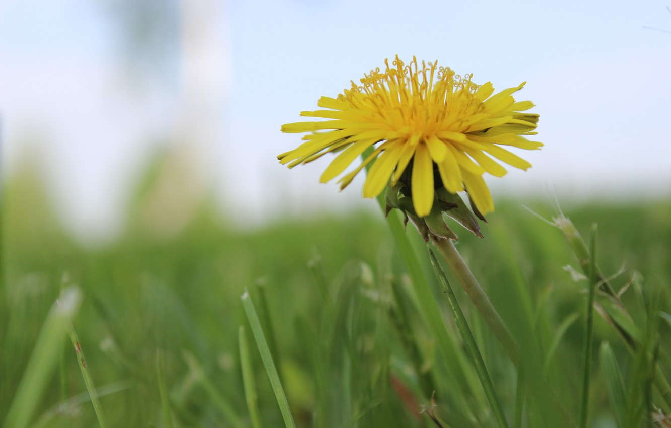 Photo wallpaper yellow, green, mood, dandelion