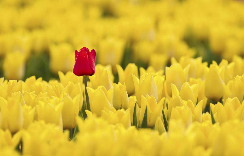 Photo wallpaper red, tulips, yellow