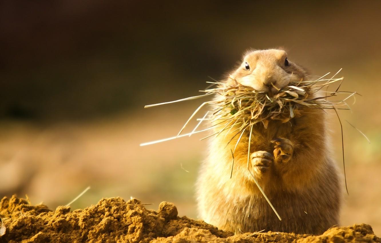 Photo wallpaper grass, fluffy, hay, rodent, cheeks, Prairie dog