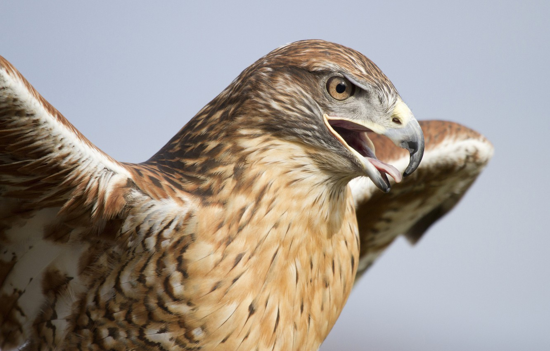 Photo wallpaper bird, wings, predator, head, beak, hawk