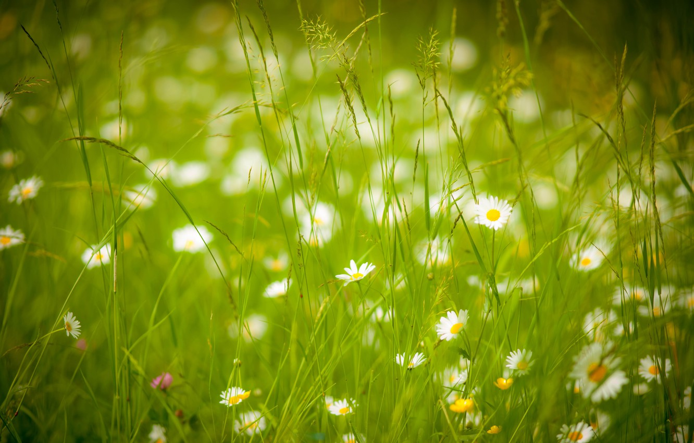 Photo wallpaper summer, grass, chamomile