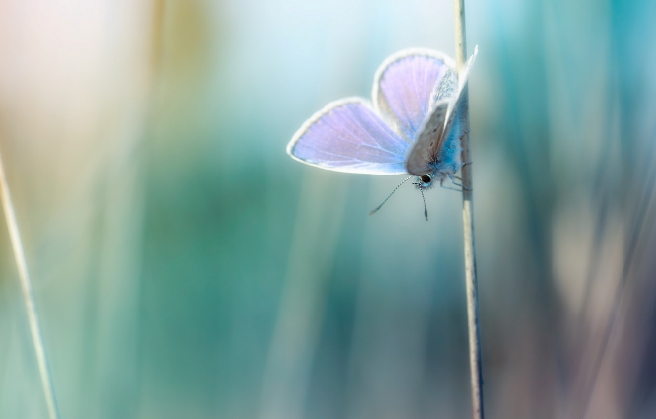 Photo wallpaper macro, photo, background, Wallpaper, butterfly, plants, a blade of grass, wallpapers