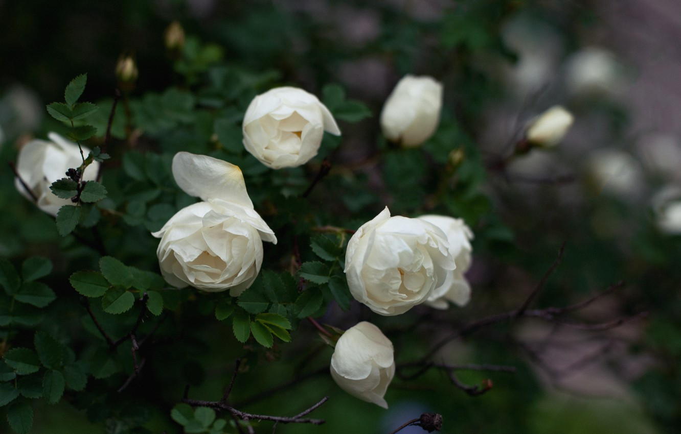 Photo wallpaper leaves, flowers, Bush, roses, petals, white