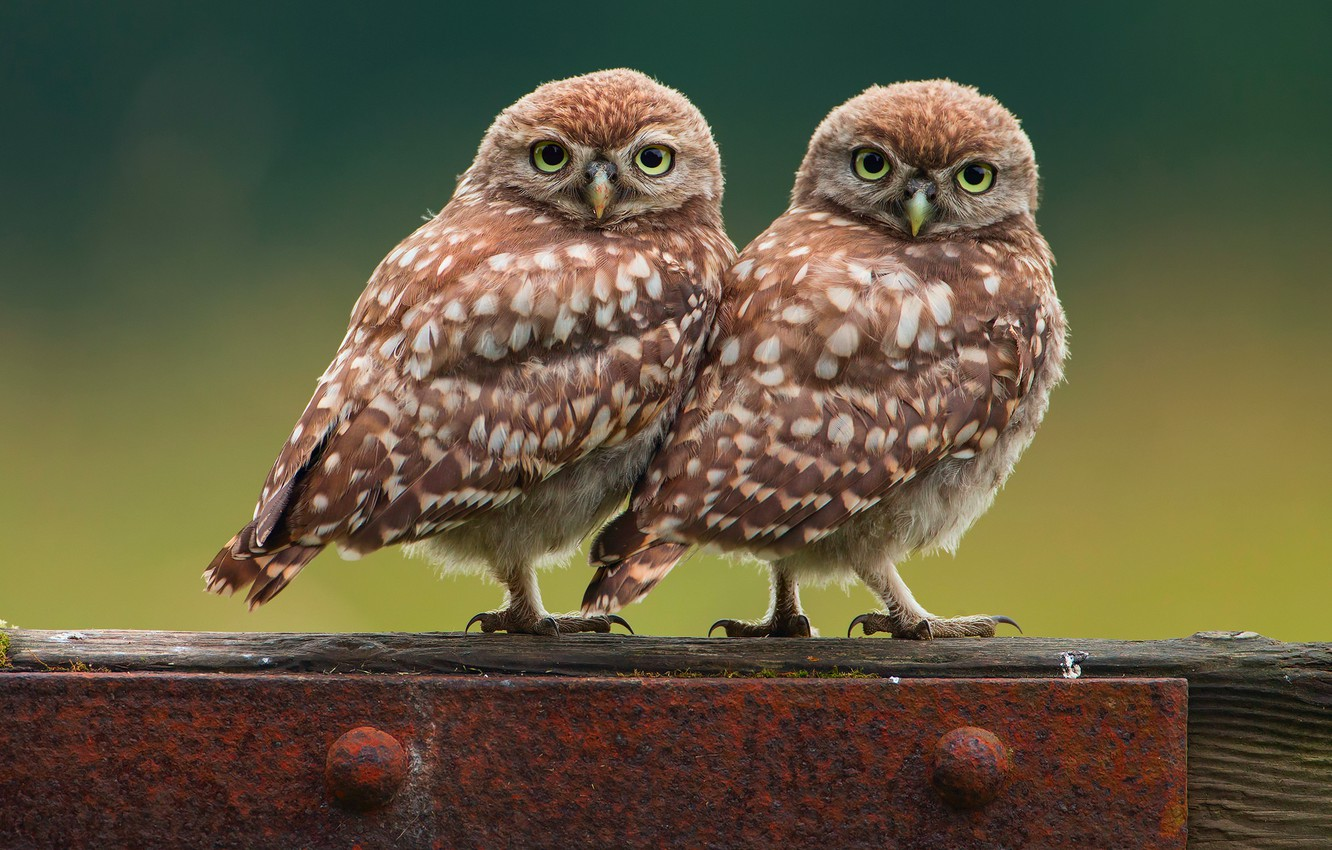Photo wallpaper birds, background, owl, owls, two, little chick