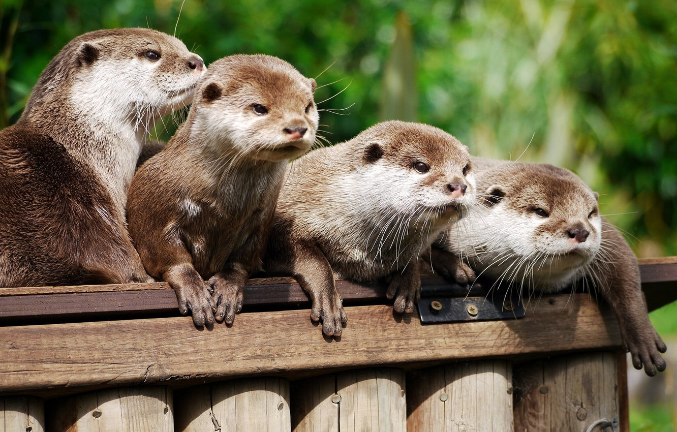 Wallpaper Family Otters Asian Beskostnaya Otter Images For