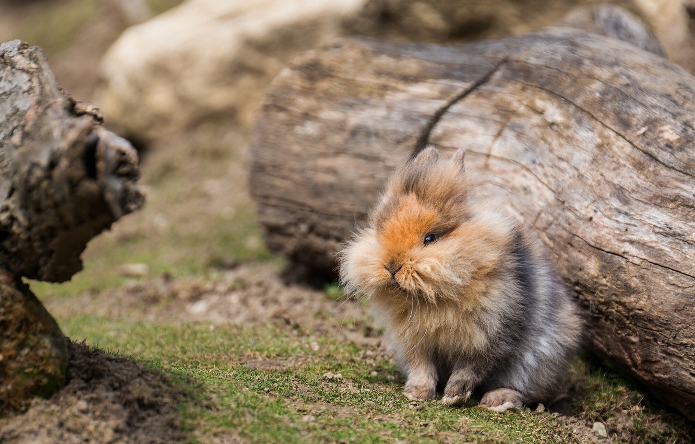Photo wallpaper fluffy, rabbit, log