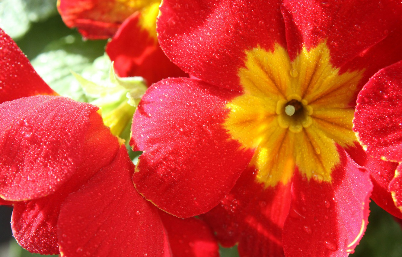 Photo wallpaper colorful, flower, nature, Primula red