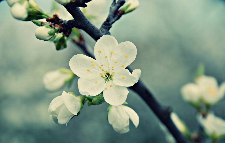 Photo wallpaper white, flower, macro, cherry, branch, spring, petals, flowering