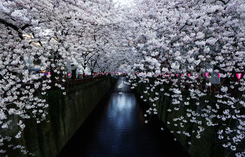 Photo wallpaper Japan, Sakura, Japan