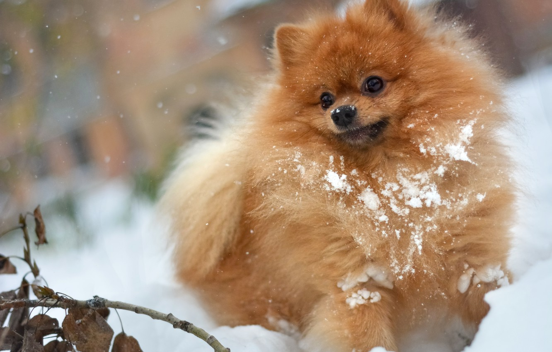 Photo wallpaper winter, autumn, white, leaves, snow, in the snow, in the snow, snow, the game, dog, …