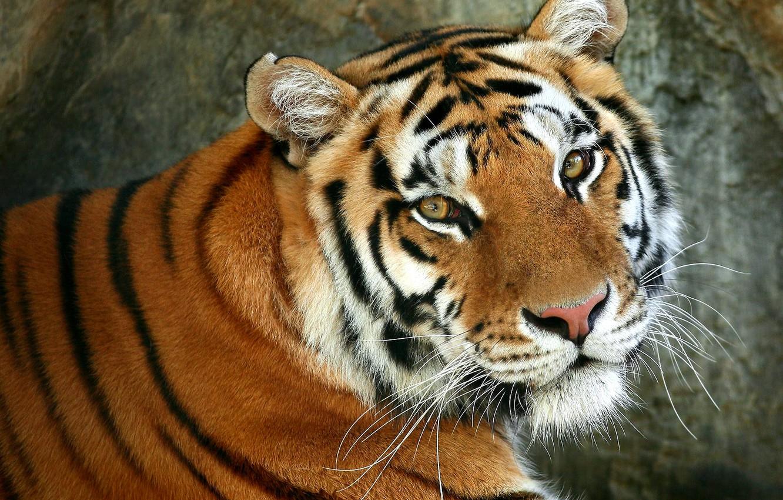 Photo wallpaper cat, eyes, mustache, look, face, strips, tiger, animal, predator, wool, beast, wild, painting