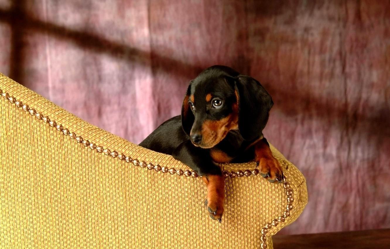 Photo wallpaper each, dog, Dachshund
