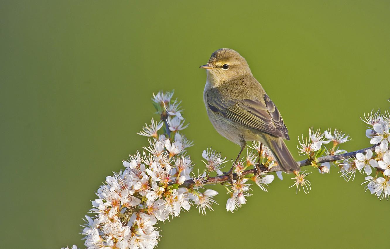 Photo wallpaper flowers, bird, branch, Warbler