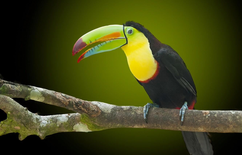 Photo wallpaper bird, branch, beak, Toucan