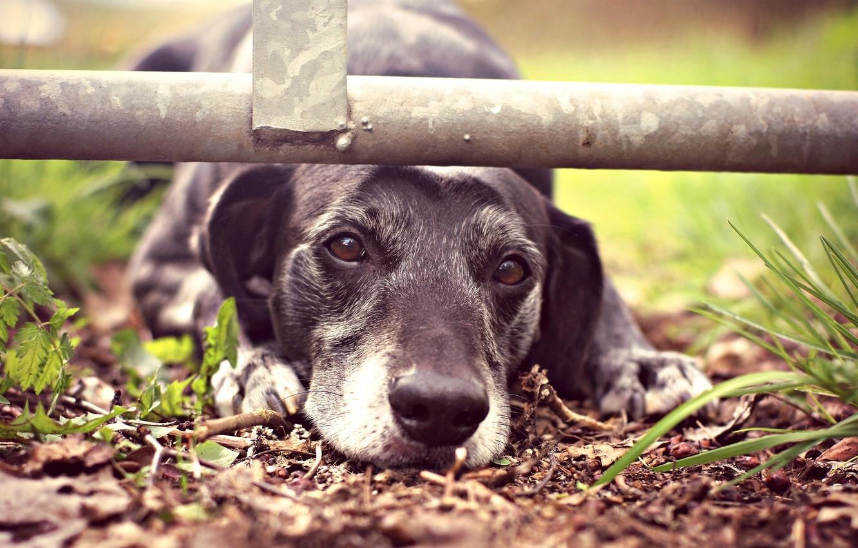 Photo wallpaper sadness, face, dog