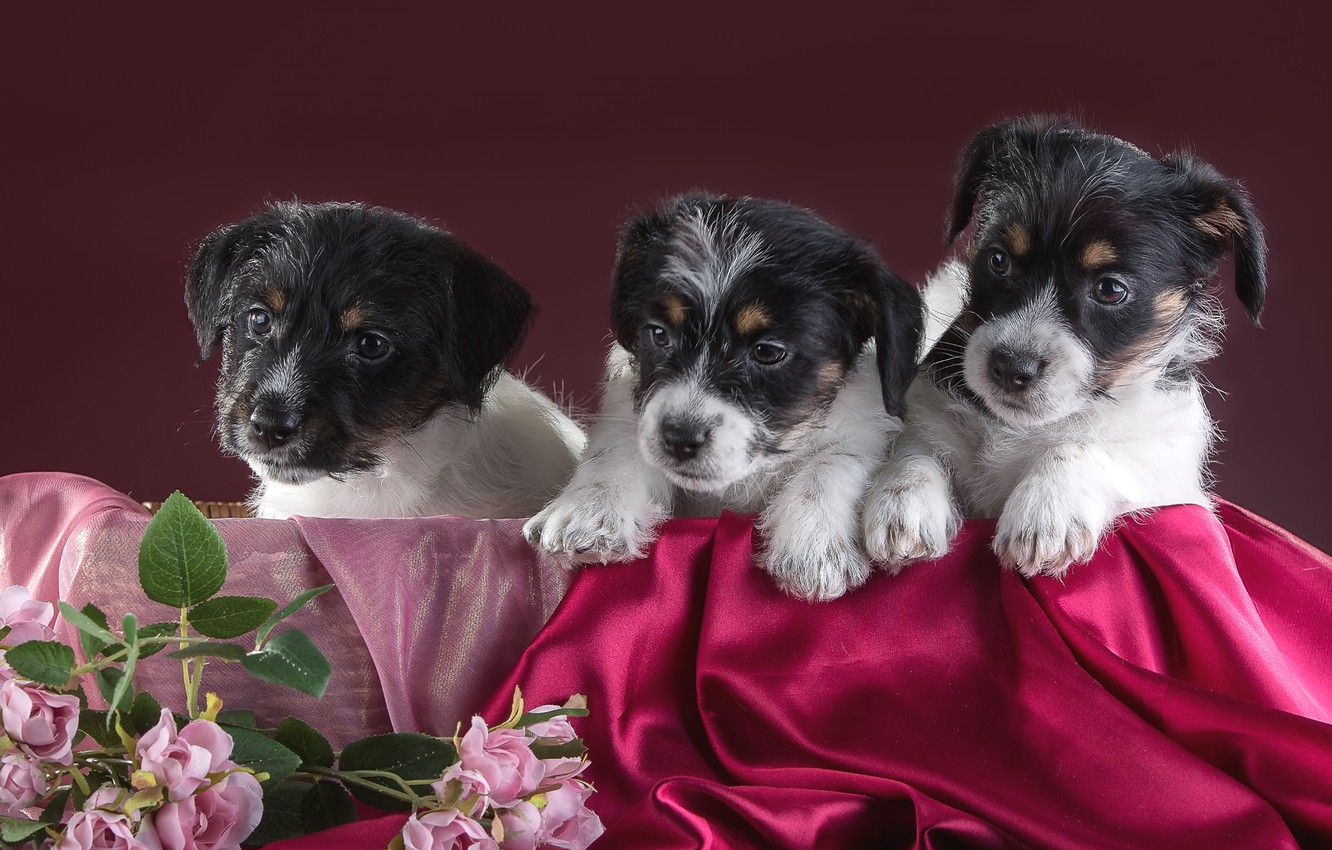 Photo wallpaper flowers, puppies, trio, Jack Russell Terrier