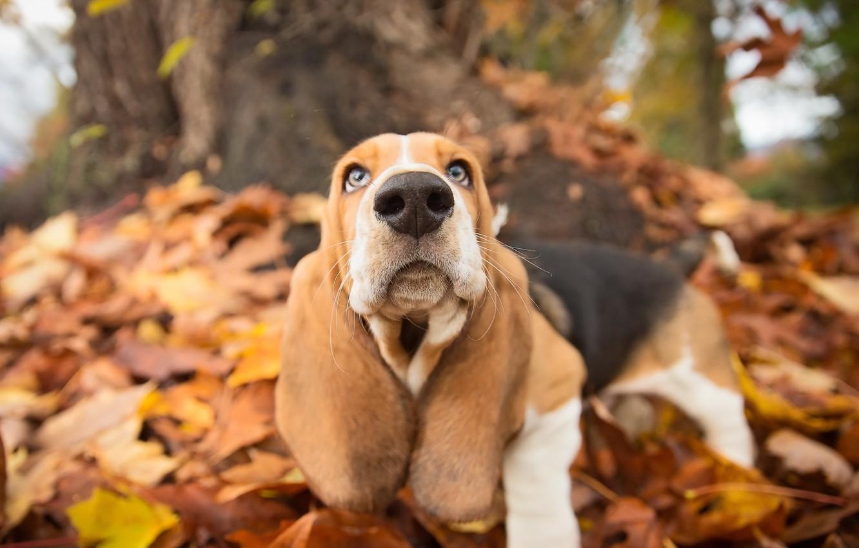 Photo wallpaper autumn, look, each, dog