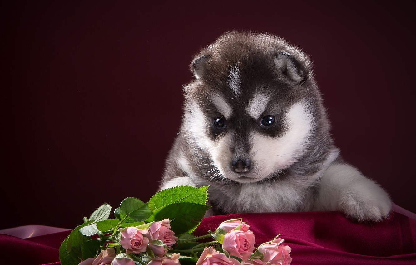Photo wallpaper black and white, roses, puppy, fabric, husky, spotted