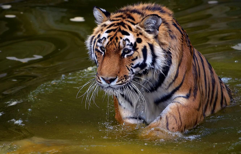 Photo wallpaper mustache, look, face, water, drops, tiger, predator, tiger, panthera tigris