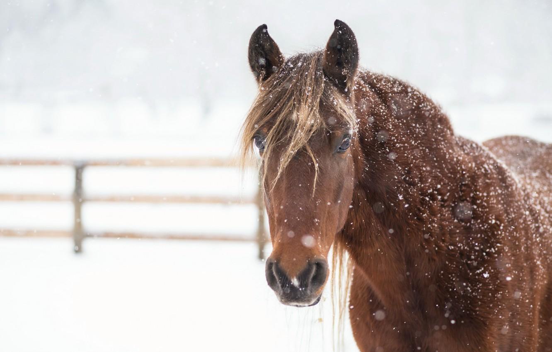Photo wallpaper winter, snow, horse