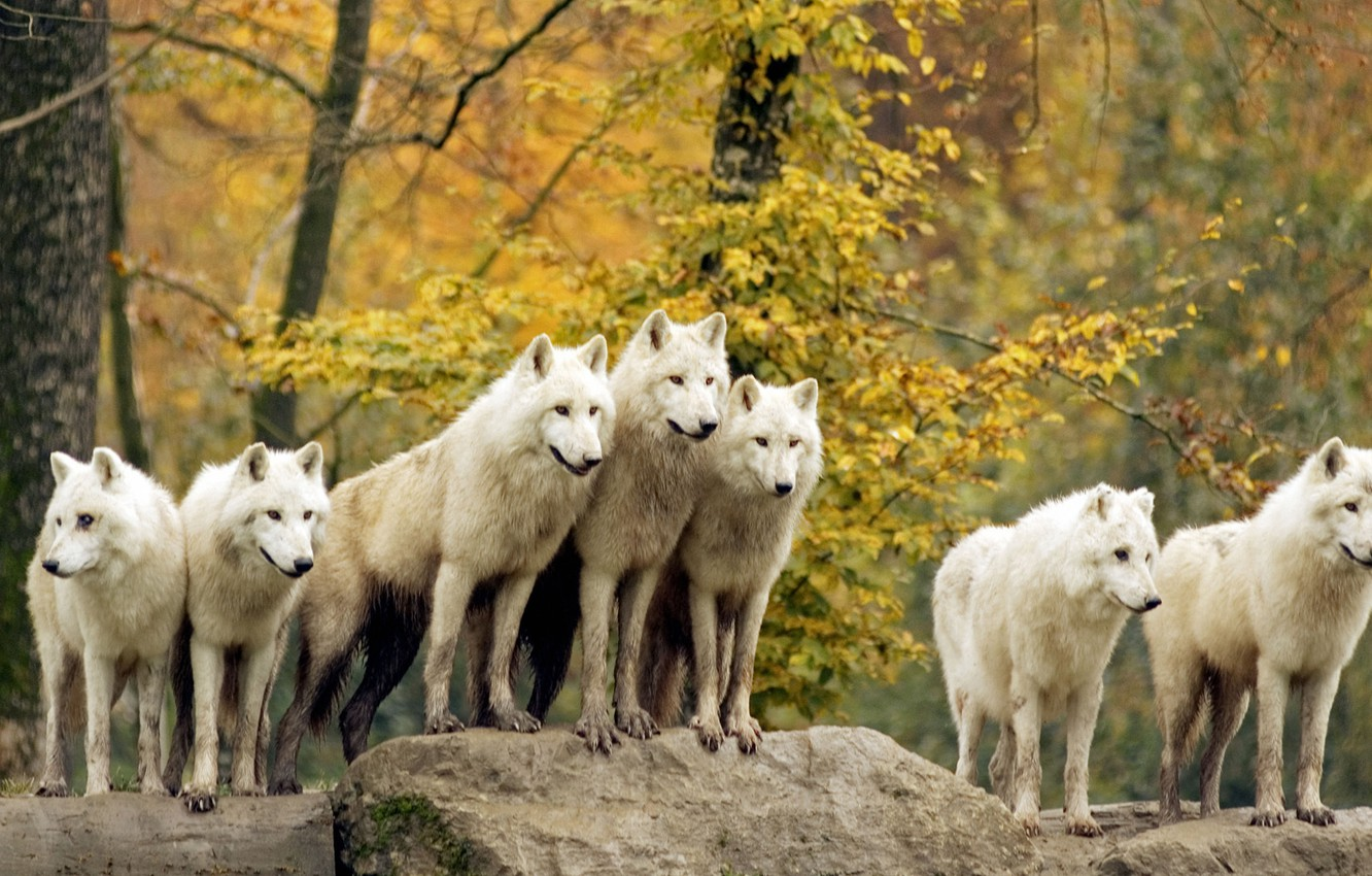 Photo wallpaper forest, animals, wolves