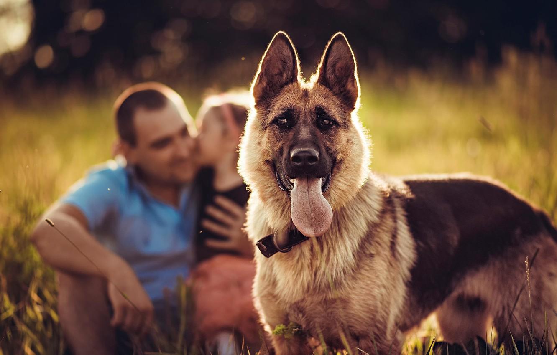 Photo wallpaper look, background, dog, shepherd