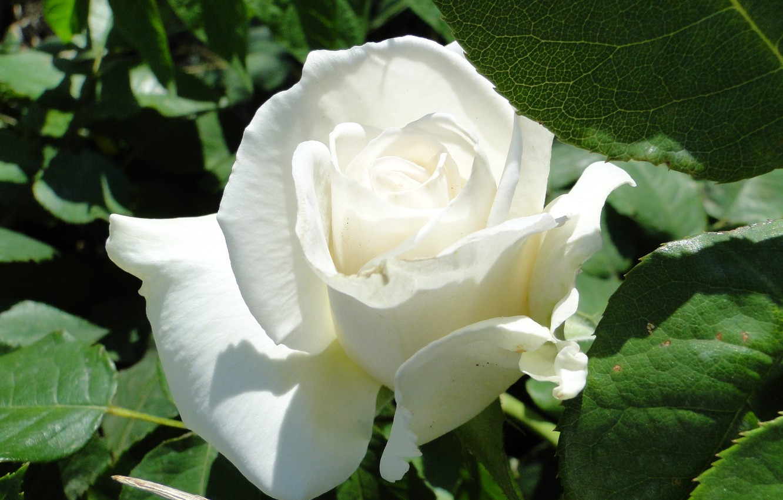 Photo wallpaper flower, summer, Akela White, rose white