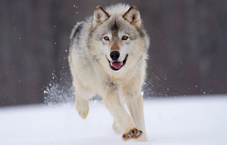 Photo wallpaper winter, snow, wolf